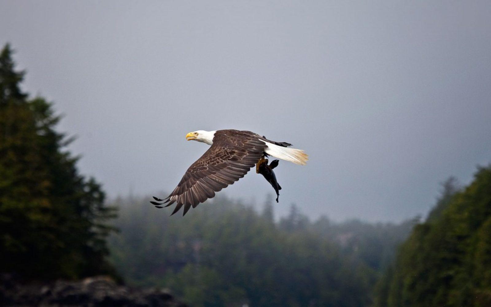 nature-bald-eagle-hunt-1024x640