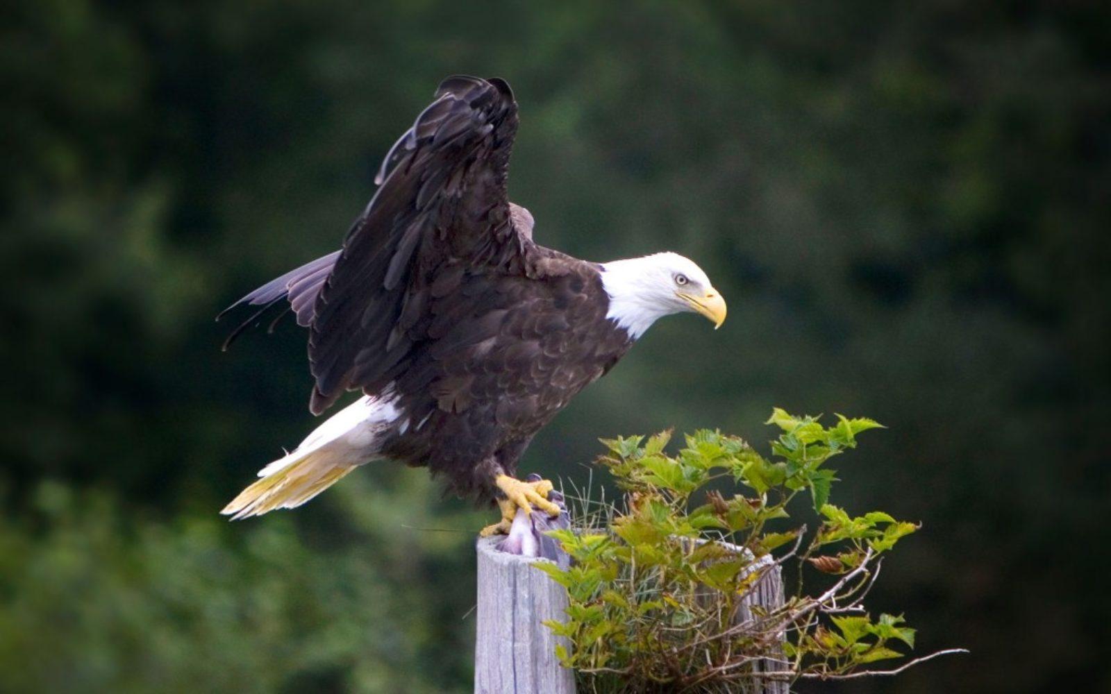 nature-bald-eagle-post-1024x640