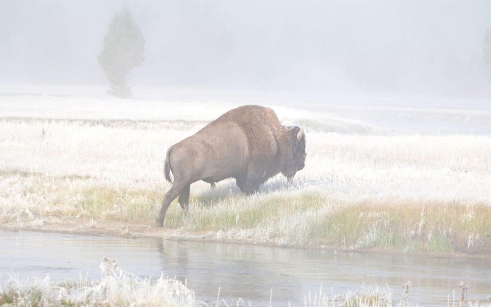nature-buffalo-snow-1024x640